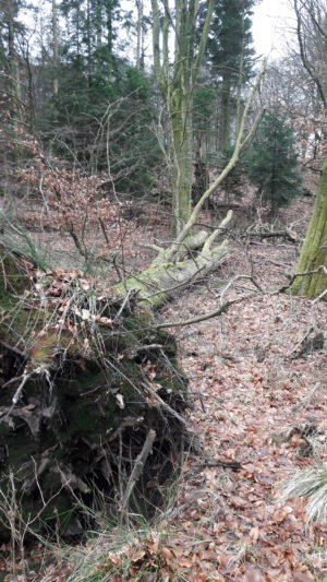 Stormfald af gammel bøg i naturskoven, hvor væltede træer får lov at formulde